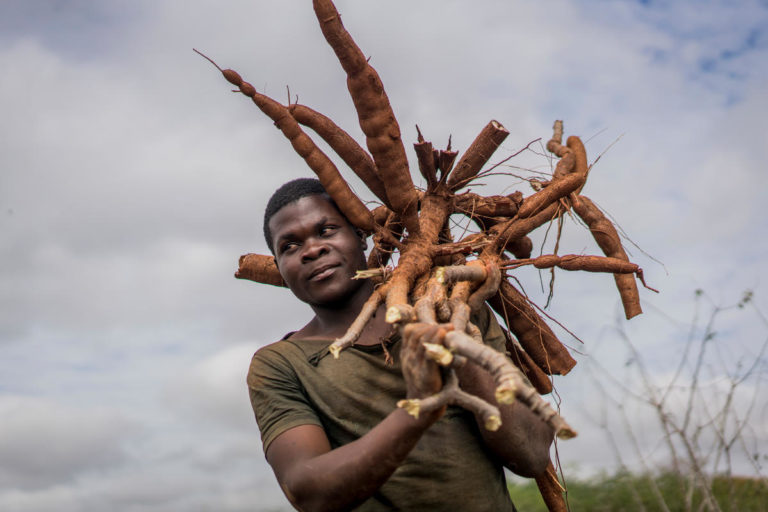 A worker carries cassava roots after they were pulled from the ground during a harvest at the farm of Aolil Pedro in Murrupula Mozambique.