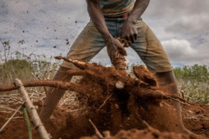 Farmer pulling a root from the ground.