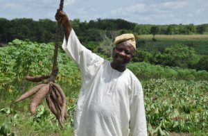 Farmer holding a cassava root in a field.