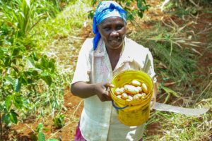 Female farmer in Kenya collecting potatoes in a bucket.