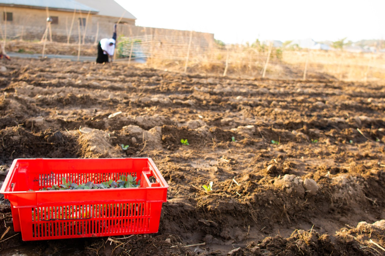 Crate filled with tomatoes sitting in a crop field.