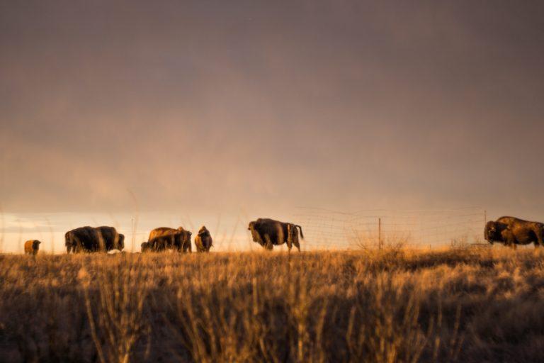 Buffalo grazing in a field.