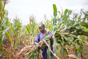 Man harvesting produce in the field.