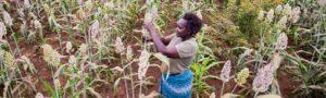 Female farmer harvesting grains in a field.