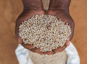 Hands holding tharaka cereals.