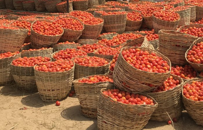 Countless baskets filled with tomatoes.