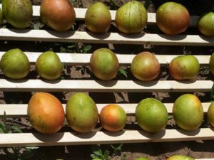 Mangoes neatly lined up in rows.