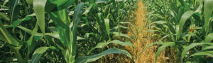Image of a corn field.