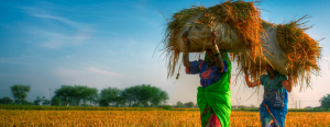 Woman carrying bushels of wheat on their foreheads.