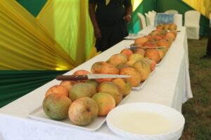 Ripe yellow mangoes on a long table.