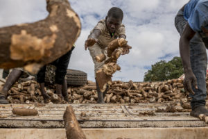 Worker unloading a truck with harvested cassava roots.