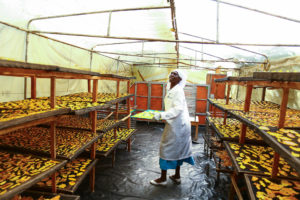 Agricultural worker placing trays down in a tented area.