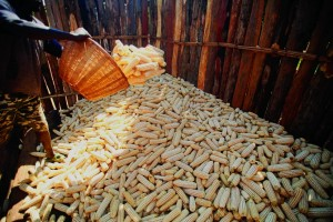 Farm worker storing harvested maize in a silo in Nhamuka village.