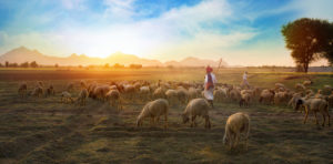 Rajasthani tribal man wears a traditional colorful casual while herding a flock of sheep in the field.